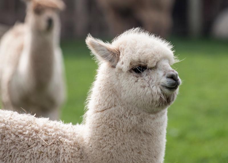 padden photography alpaca farm fluffy alpaca